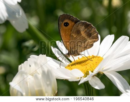Macro close up of a colorful butterfly (Vanessa cardui) on white daisy flowers.