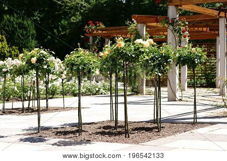 Pruned rose trees in front of a porch with wooden frames.