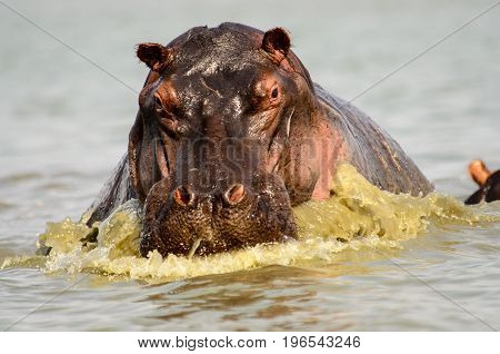 Aggressive  Hippo protecting its territory by charging