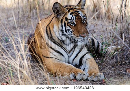 tiger at rest in the long grass