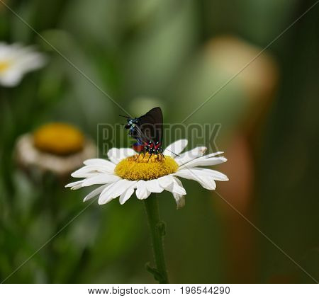 Butterfly sipping nectar from a chamomile flowers in the garden,