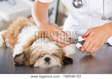 Veterinarian conducting a review with your dog Shih Tzu