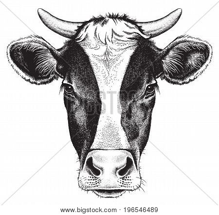 Black and white sketch of a cow's face. Vector portrait.