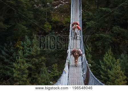 Donkeys carry provision over suspension bridge to high villages in Himalayas Nepal