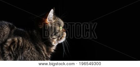 Beautiful tabby cat black isolated on black background