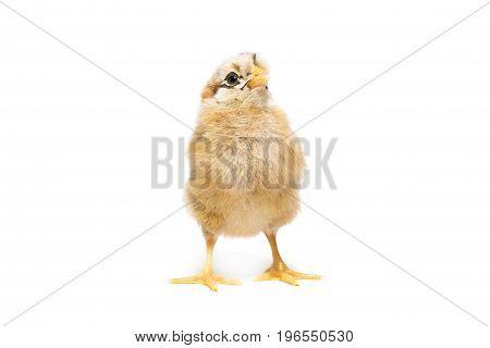 Chicken on white background village isolation summer