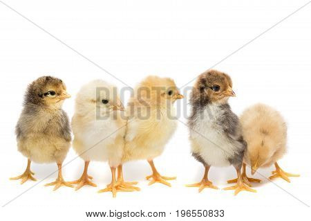 Five chickens on white background isolation village summer