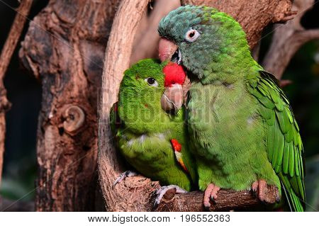A pair of green parrot lovebirds snuggle close to each other in the gardens.