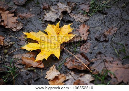 Wet yellow maple leaves on the ground