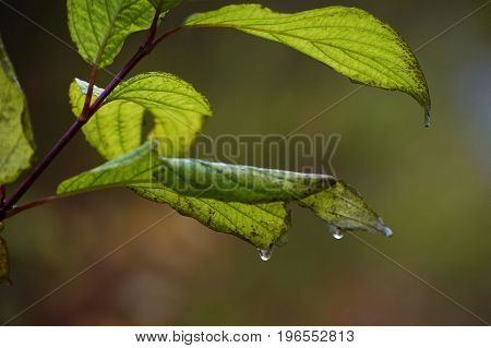 Wet green leaves on the branch with rain drops