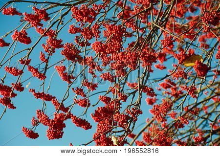 Branches of wild ash with red ashberries