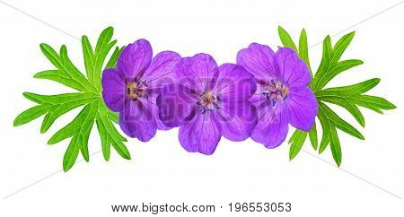 Decorative Detail Of Purple Bloody Crane's-bill Geranium Flower With Green Leaves Is Isolated On Whi