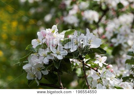 Apfelbaumplantage in voller BlüteApple tree plantation in full bloom