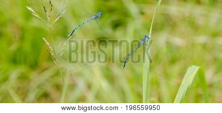 Blue dragonflies. Two dragonflies blue. Graceful insects with transparent wings. Summer day on the river. Dragonfly sitting on a blade of grass. Photographed in flight. part of the frame is blurred.