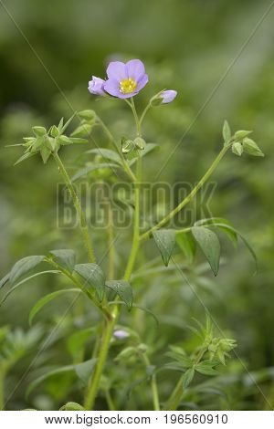 Leafy Jacob's Ladder Flowers - Polemonium foliosissimum