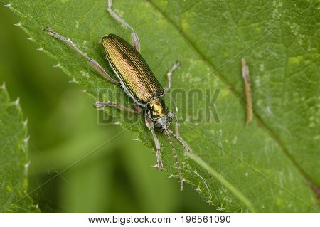 Reed Beetle - Donacia simplex Metallic beetle of Wetlands