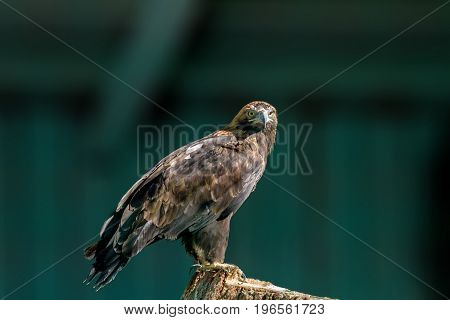Large Bird Of Prey
