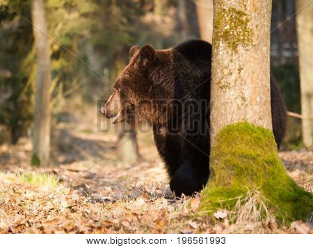 Brown bear behind the tree - Ursus arctos