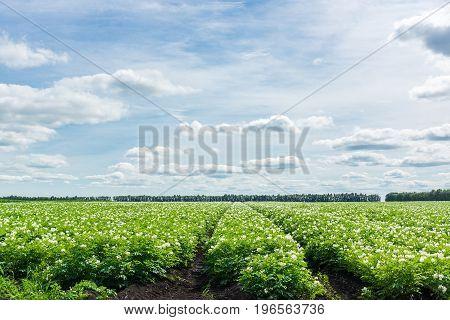 Potato field of Russia Village Tambov region blue sky