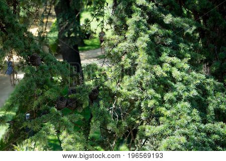 Pine Tree With Pine Cones In Seville, Spain, Europe