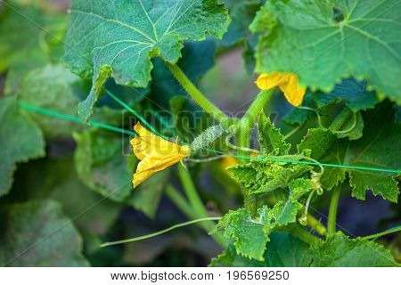A Flowering Young Plant In The Garden. Cultivation And Harvesting Of Cucumbers.