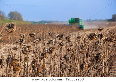 Large Field Of Dry Sunflower, In The Background Big Harvester Mowing Ripe, Crop In The Field On A Su