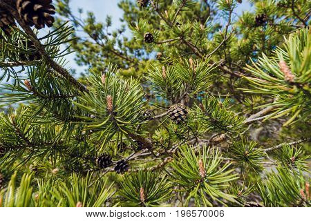 Pine Cone And Branches. Plant green tree background surface natural color with bokeh , process in vintage style