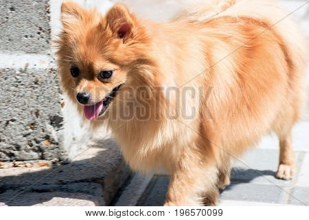 Soft focus. Portrait of a red-haired small dog of the Spitz breed. Pomeranian dog