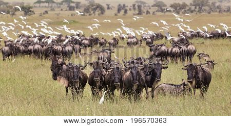 Connochaetes. Big herd of Wildebeests grazing in Serengeti National Park in Tanzania, East Africa.