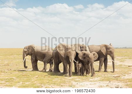 Elephants at Amboseli National Park, formerly Maasai Amboseli Game Reserve, is in Kajiado District, Rift Valley Province in Kenya. The ecosystem that spreads across the Kenya-Tanzania border.