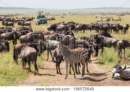Big herd of Wildebeests and Zebras grazing in Serengeti National Park in Tanzania, East Africa. Connochaetes and Equus quaggas.