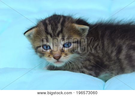Pets, Animals and Cats concept. Cropped shot of Cute Little Kitten with blue eyes.