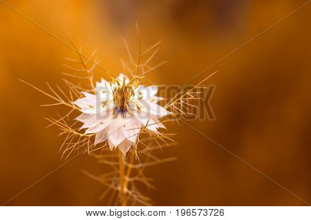 White nigella flower in gold tinting. Beautiful flower in the sunlight