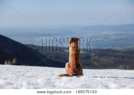 Nova Scotia Duck Tolling Retriever In The Mountains