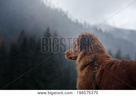 Nova Scotia duck tolling Retriever on a background of mountains and forests