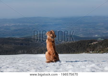 Nova Scotia duck tolling Retriever sits in the snow in the mountains
