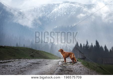 Nova Scotia duck tolling Retriever on the road in the mountains
