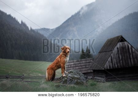 Nova Scotia duck tolling Retriever at a cabin in the mountains