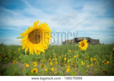 single sunflower in a small field with sunflowers