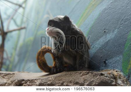 Emperor Tamarin Monkey side view on rocks