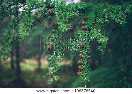 Сlose-up of a beautiful green larch tree branches with small brown cones covered with rain drops. Wild nature and rainy weather consent. Vibrant green color.