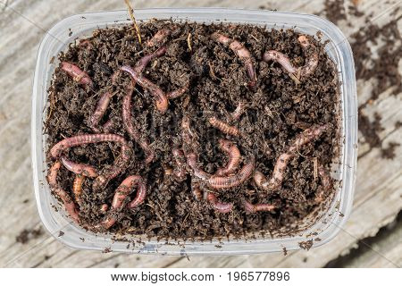 Red worms Dendrobena in a box in manure earthworm live bait for fishing.