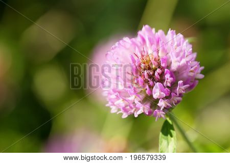 Close up of a Red Clover flower with green blurry background