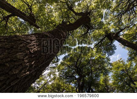 wide angle view of Southern Beech trees growing in forest in Patagonia, Argentina