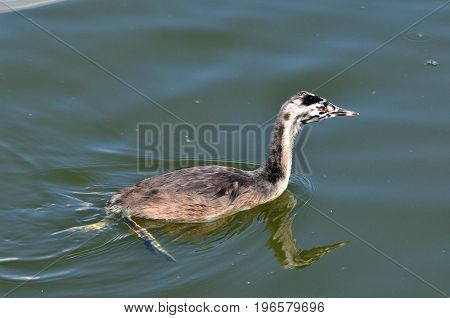 The great crested grebe is a member of the grebe family of water birds.