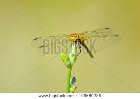 Beautiful dragonfly on plant stem by the river. Close-up photo of a Dragonfly