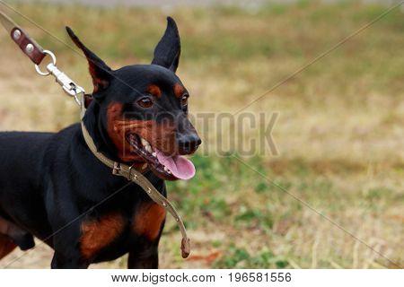 Dog breeds mini pinscher in autumn on green grass