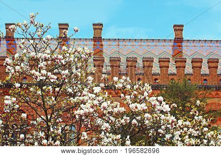 Magnolia blooming and residence of Bukovinian and Dalmatian Metropolitans now part of Chernivtsi University. Yuriy Fedkovych Chernivtsi National University. Chernovtsi, Europe