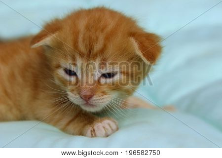 Cropped shot of red kitten. Cute ginger kitten just opening his eyes.