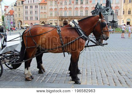 Two bay horses hitching up in Prague